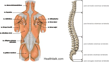 Clicking Neck : Picture of Neck & Back Muscles & Vertebral Column